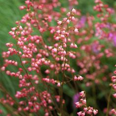 Coralbells  In spring and early summer, coralbells produce sprays of pink, red, or white flowers. These flowers are a top choice of hummingbirds.  Name: Heuchera varieties  Growing conditions: Part shade and well-drained soil  Height: To 3 feet tall  Zones: 4-8