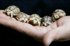 Sweet Picture of 5 baby Egyptian Tortoises being held in the palm of a hand.  These sweet little guys are facing global extinction.  There are an estimated 7,500 remaining.  Photo credits: cito/ap/ap