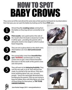 junehunterimages on Instagram: How to spot baby crows. This is a little guide I made for my blog a few years ago. #crowbabies #urbannatureblog #crow #crowguide #birdguide