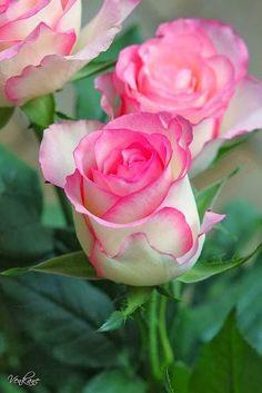 Nevena Uzurov - Rose Beautiful