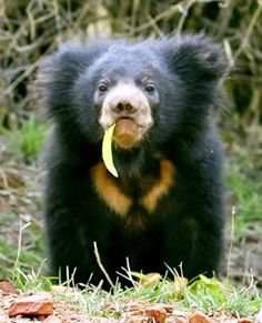 Baby Sloth Bear