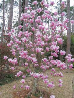 japanese-magnolia-tree-redu.jpg 300×399 pixels