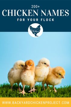 So, you brought home your new little chicks and now you need to name them. With over 200 ideas, our list of chicken names is bound to help you! Raising Meat Chickens, Raising Backyard Chickens, Keeping Chickens, Chicken Names, Chicken Chick, The Incredibles, Bird, Animals, Farming Ideas