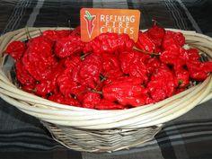 Jays red pepper seed Just 10k sms / wa 085777119992 line id : silkynazma
