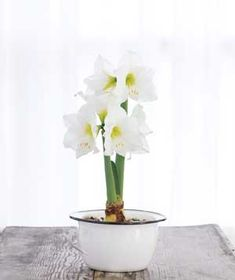 Amaryllis - How to Force Bulbs Into Bloom|For a hint of spring any time of year, coax bulbs into flowering indoors.