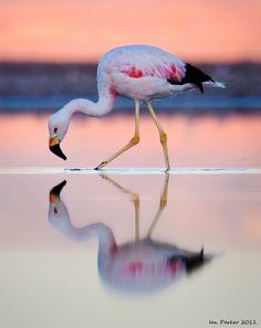 Flamingo Photo, Flamingo Art, Pink Flamingos, Beautiful Birds, Animals Beautiful, Cute Animals, Reflection Photography, Nature Photography, Pink Bird