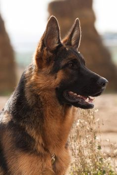 German Shepherd | by Bosanski kinološki savez More More