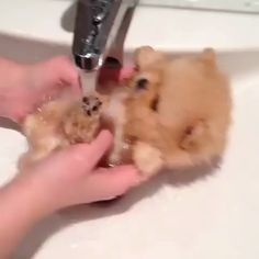 More About Inquisitive Pomeranian Puppy Health Cute Baby Dogs, Baby Animals Super Cute, Cute Funny Dogs, Cute Little Puppies, Cute Little Animals, Cute Dogs And Puppies, Cute Funny Animals, Doggies, Baby Puppies