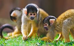 HD Widescreen Wallpaper - monkey