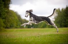 Feathered Saluki Mogli by Wolfruede.deviantart.com on @deviantART