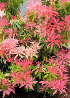 Japanese Pieris foliage color. This is one awesome broad leaf evergreen.  New growth is red.