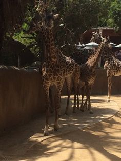 Fam Los Angeles Zoo, Giraffe, Animals, Giraffes, Animales, Animaux, Animal, Animais, Dieren