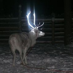 Like a Deer in the Headlights - reflective paint on antlers