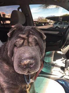 Meet Mr. Miyagi, a Petfinder adoptable Shar Pei Dog | Tucson, AZ | Mr. Miyagi is a 10 year old neutered male Blue sharpei. He is currently in a foster home with both...