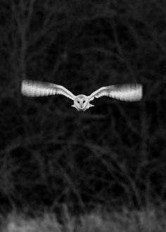 ♂ Black and white owl fly