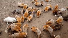 At Zao Fox Village in Japan's Miyagi Prefecture, the foxes run wild. Well, maybe not wild wild. The fox village is a sanctuary for about 100 free-roaming foxes, according to Kotaku East.