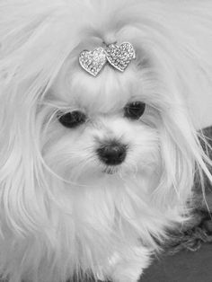 Look at this face.  #yorkshireterrier #maltese