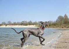 Great Dane (blue) - every dog loves a stick!