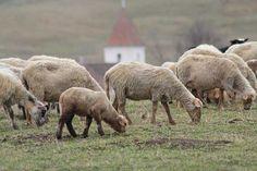 Kirchen und Schafe sind die Hauptprotagonisten Siebenbürgens (Foto © Norbert Eisner) Kirchen, Animals, Sheep, Travel, Animales, Animaux, Animal, Animais, Dieren