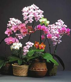 American Orchid Society: Phalaenopsis [Moth-orchid] for Beginners - Web Culture Sheet Phalaenopsis Orchid Care, Moth Orchid, Orchid Plants, Garden Plants, Indoor Plants, House Plants, Types Of Orchids, Growing Orchids, Orchid Arrangements