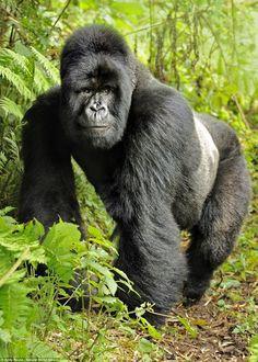 Mountain Gorilla: WWF Wildlife and Climate Change Series Brochure Jungle Animals, Animals And Pets, Baby Animals, Cute Animals, Strange Animals, Wild Animals, Primates, Mammals, Silverback Gorilla