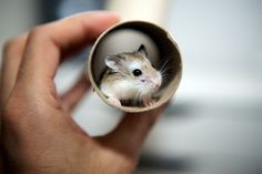 My Roborovski Dwarf Hamsters