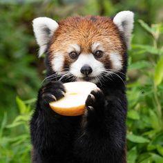 Super Cute Animals, Cute Baby Animals, Funny Animals, Cute Animal Memes, Funny Animal Quotes, Nature Animals, Animals And Pets, Red Panda Cute, My Spirit Animal