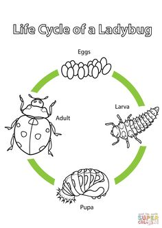 natur animals Life Cycle of a Ladybug coloring page from Biology category. Select from 20946 printable crafts of cartoons, nature, animals, Bible and many more. Montessori Science, Kindergarten Science, Nature Activities, Preschool Activities, Ladybug Coloring Page, Life Cycle Craft, Cycle Of Life, Material Didático, Ladybug Crafts