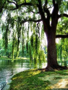 Weeping Willow Tree - Bing images