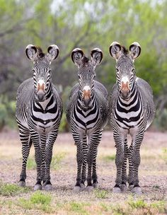Three Amigos by Dan & Becky Verrips Grevys Zebras    	Via Flickr: 	Grevy's Zebras