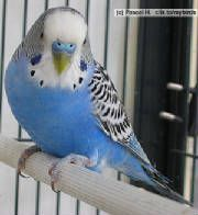 TOMandJERRY is an adoptable Parakeet (Other) Parakeet in Orlando, FL. Up for adoption are a pair of young male parakeets. They are both blue and white. One is a little smaller than the other. Fancy Parakeet, Blue Parakeet, Budgie Parakeet, Budgies, Parrots, Funny Birds, Cute Birds, Animals And Pets, Bluebirds