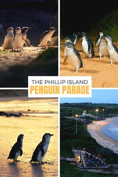 An unforgettable night at the Phillip Island penguin parade Lanai Island, Big Island Hawaii, Island Beach, Beach Photography Friends, Beach Photography Poses, Cheap Beach Vacations, Caribbean Vacations, Bora Bora Activities, Fiji Travel