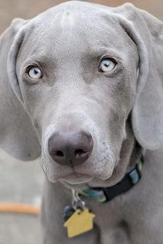 Weimaraner. Beautiful blue eyes!