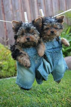 Yorkie boy pups in overalls. It doesnt get cuter than this!!!