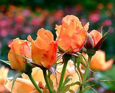 Rose Bunch art print ~ a close-up photograph of beautiful yellow-orange roses against a backdrop of bright multicolored roses in Queen Mary's Garden, Regent's Park, London UK. Prints are available on paper, canvas, metal and acrylic. www.ronablack.com