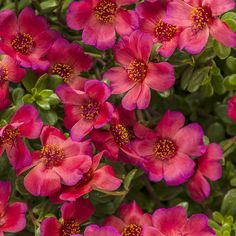 Mojave® Red - Moss Rose - Portulaca grandiflora-Large, vibrant flowers all summer; heat, humidity and drought tolerant. Long blooming