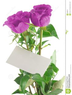 Photo about Purple roses with blank love note, background is pure white. Happy Birthday Posters, Happy Birthday Photos, Flower Frame Png, My Flower, Thank You Flowers, Send Flowers, Boarders And Frames, Iphone Wallpaper Video, Creative Flower Arrangements