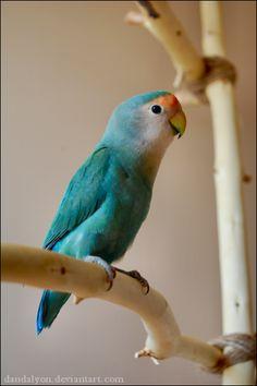 Lovebird Colors | Dutch blue mutation.