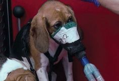 Beagles are often used for animal testing, because of their gentle demeanor.