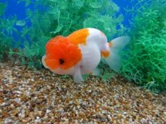 Lot# 9434 SHOW QUALITY Red & White (crystal scale) Ranchu (4.75 inches) goldfishnet.com