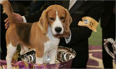 """Uno the Beagle that won """"Best in Show"""" at the Westminister Show in 2008."""