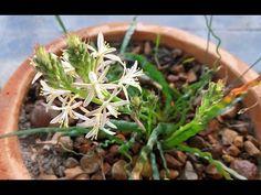 Rare Species in flower - Trachyandra tortilis Rare Species, Cactus, Succulents, Garden, Plant, Prickly Pear Cactus, Garten, Cactus Plants, Gardening