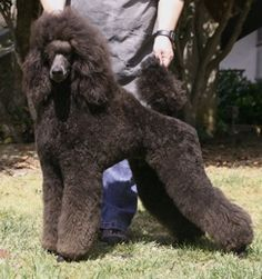 five star poodles. Remington's brother, what a beauty.
