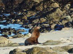 California Sea Lion at Pacific Grove, CA