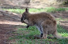 "All Kangaroos Are Left-Handed by discoverynews: 'Previously it was thought that ""true""-handedness, meaning predictably using one hand over the other, was a feature unique to primates. The new research, published in the journal Current Biology, not only negates that but also goes one step further: kangaroos are even more true-handed than we are....' #Kangaroos #Left_Handed"