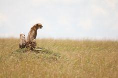 A cheetah & her cub. Out on safari with Mara Leisure Camp in the Masai Mara, Kenya