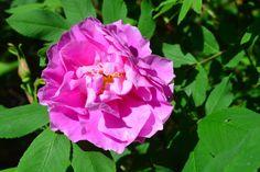 Theresa -ruusu kukoistaa