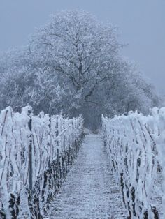 Frosty vineyard.