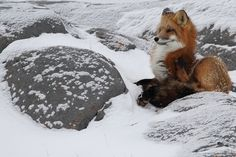 Red fox near Churchill, Manitoba, Canada. Photo by Charles Anderson Beautiful World, Animals Beautiful, God Of Wonders, Forest Mountain, Wolf Spirit, Wild Creatures, Winter Photos, Calvin And Hobbes, Red Fox