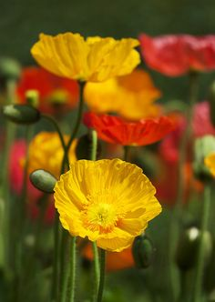 Poppies - Single rows of petals are best for bees! Exotic Flowers, Amazing Flowers, Colorful Flowers, Wild Flowers, Beautiful Flowers, Wild Poppies, Belle Plante, Garden Gifts, Flower Photos